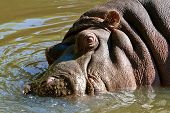 Wild hippopotamus in the water