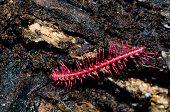 stock photo of millipede  - The shocking pink dragon millipede Desmoxytes purpurosea a colourful new species from Thailand in the tropical rain forest - JPG
