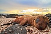 stock photo of sea lion  - Baby sea lion in the Galapagos Islands staring at you - JPG