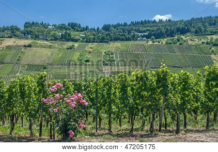 Vineyard at Mosel River,Germany