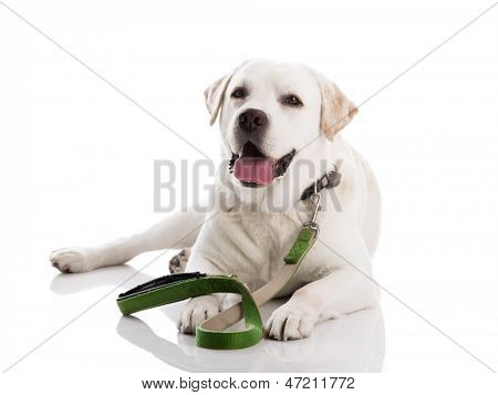 Beautiful labrador retriever dog, lying on floor with a leash, isolated on white background