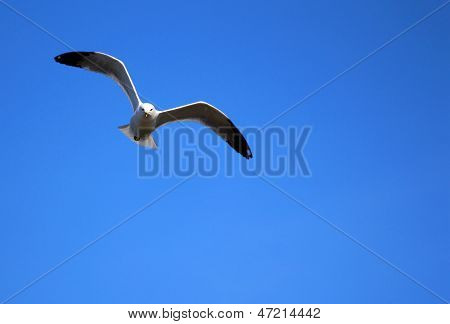 A flying seagull in blue sky