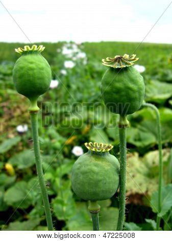 Green Head Of The Poppy