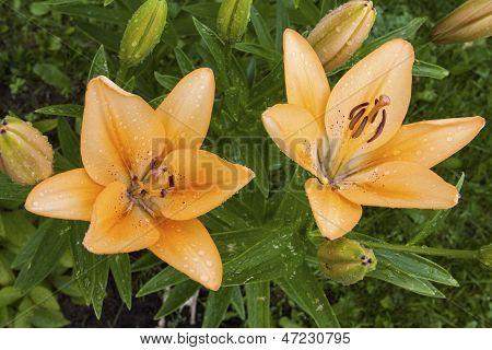 Lilium lancifolium, lily