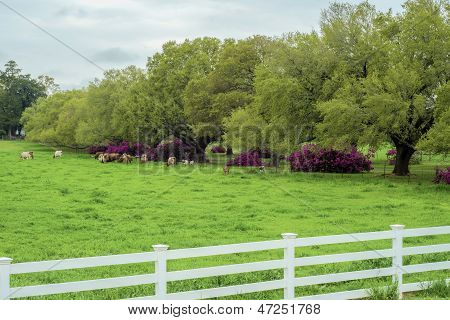 Cattle And Azaleas