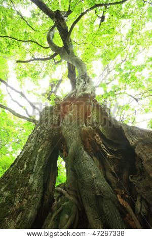 Primeval Forest Of Chestnut Tree