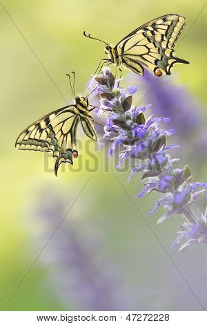 Two Butterflies In Nature On Flower