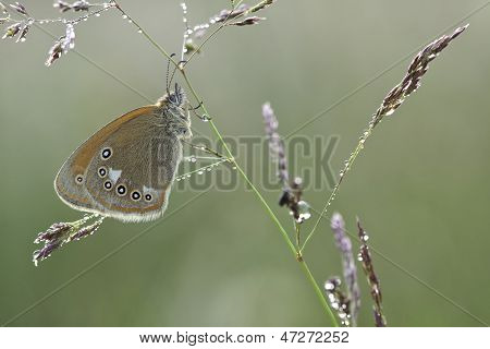Coenonympha Glycerion Butterfly On Plant In Nature