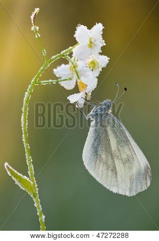 Butterfly Pieris Rapae On Cuckoo-flower