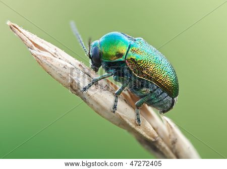 Green Beetle Ryptocephalus Sericeus In Nature