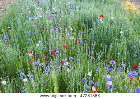 Field of wild flowers, with red poppies and blue bachelor's buttons.