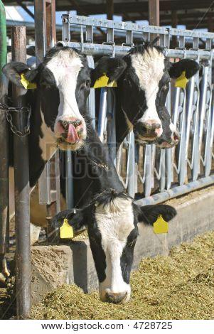 Three Holstein Cows