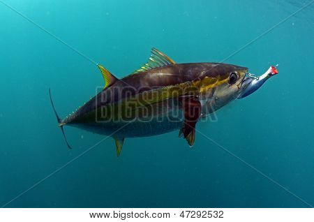 Yellowfin Tuna Fish With A Lure In Its Mouth