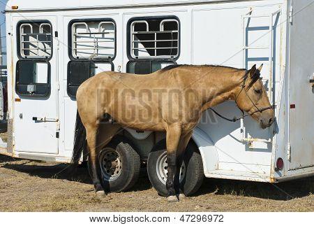 Buckskin Rodeo Horse