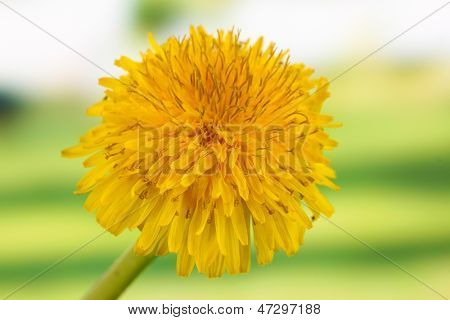 Dandelion flower on bright background