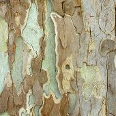 Textured Bark Of A Sycamore
