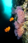 Bright orange garibaldis swim by some beautiful sea fans at Catalina Island in California