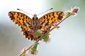 Boloria Dia Butterfly With Open Wings In Nature