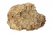 pic of paleozoic  - Fossil of tabulate coral  - JPG