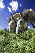 picture of horses eating  - Two horses feeding on a sunny day - JPG