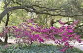 stock photo of english ivy  - Pink Azaleas among the oaks and English Ivy - JPG