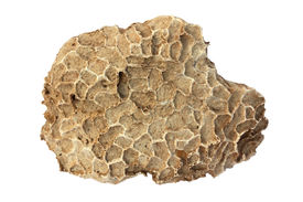 foto of paleozoic  - Fossil of tabulate coral  - JPG