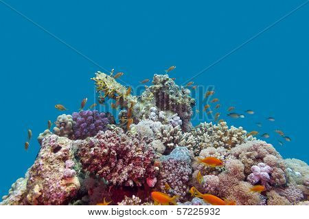 coral reef and fishes anthias at the bottom of tropical sea on blue water background