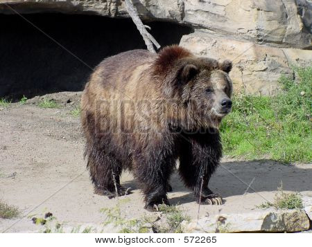 Grizzly Bear 5