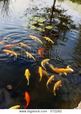 Carp/Goldfish In Pond