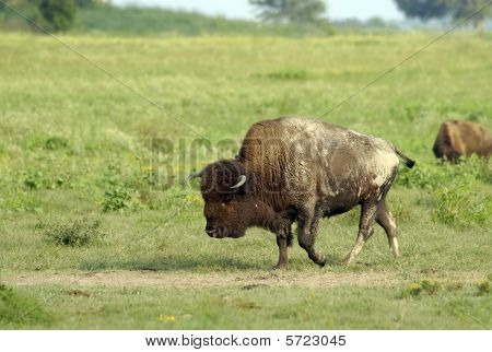 Bull Buffalo At Dust Wallow