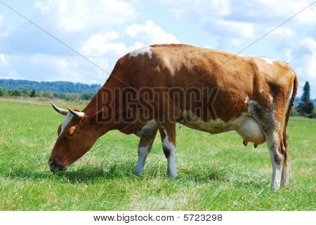 A cow in a pasture with cloudy blue sky at the background