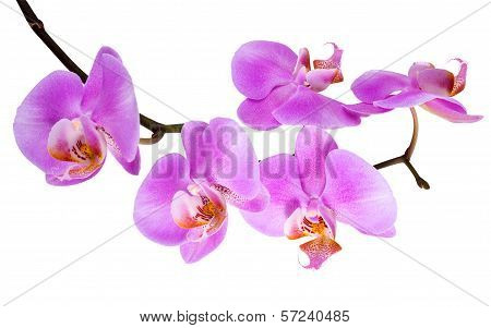 Branch Blooming Lilac Orchid With Is  Isolated On White  Background