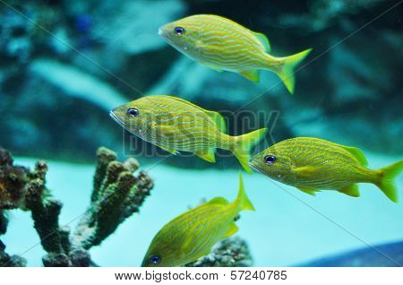 Blue Stripe Grunts In Tropical Waters