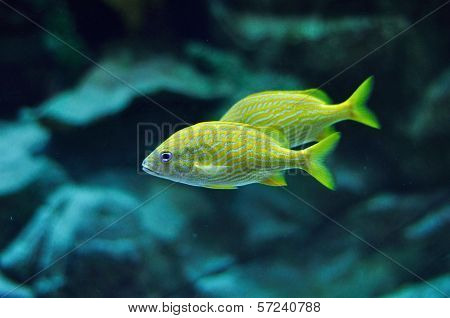 Blue Stripe Grunt In Tropical Waters
