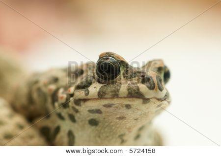Big toad (Bufonidae)