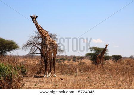 Two giraffes in savanna