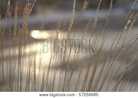 Golden Afternoon Prairie Grass