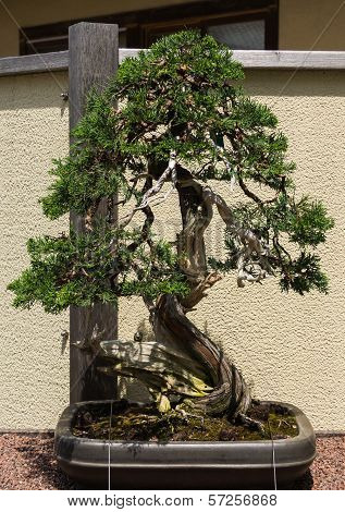 Old Crook Pine Tree Bonsai On Relief Background