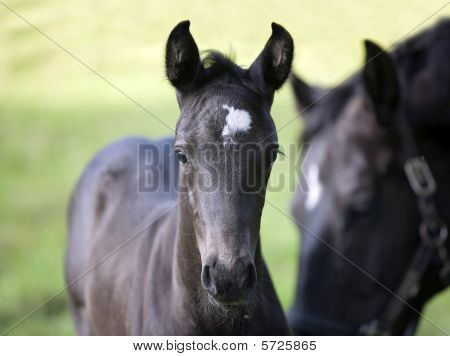 Horse - Mare and Foal