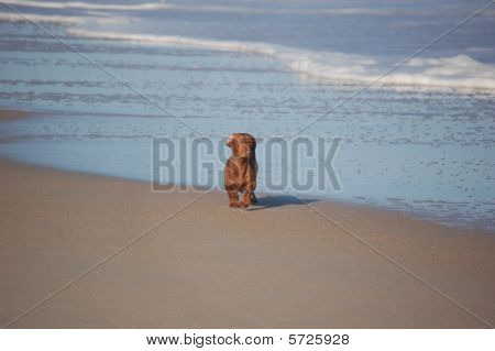 Dachsund on beach