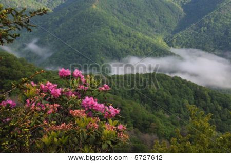 Rhododendron and Blue Ridge Mountains