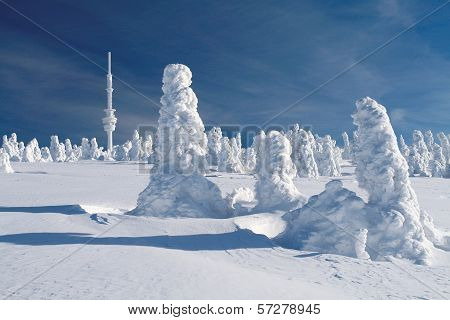 Snow Covered Spruces