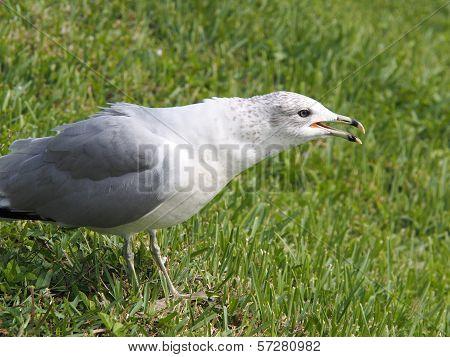 Ring Billed Gull Open Beak