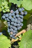 picture of tokay wine  - Racemations of purple  - JPG