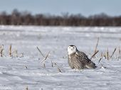 foto of snow owl  - Snowy owl hunts in a deserted corn field - JPG