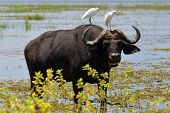 stock photo of cape buffalo  - buffalo with two white egrets on the neck, Chobe,Botswana