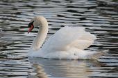 stock photo of trumpeter swan  - A trumpeter swan on Lake Wire in Lakeland - JPG