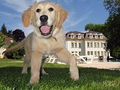 stock photo of cute puppy  - golden retriever puppy playing in the garden - JPG