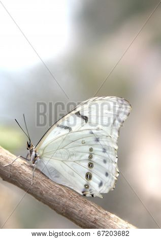 White Butterfly on a Branch