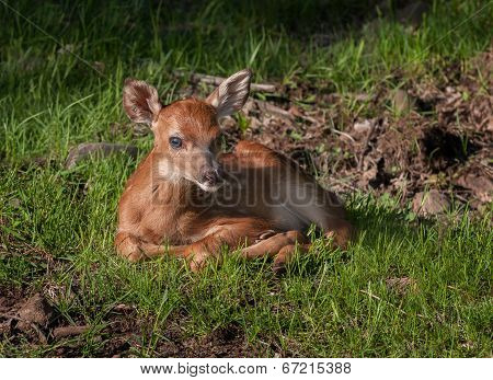 White-tailed Deer (Odocoileus virginianus) Fawn In Grasses